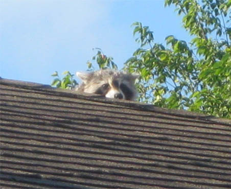 Raccoon has Access to Roof found by Barrie Home Inspections