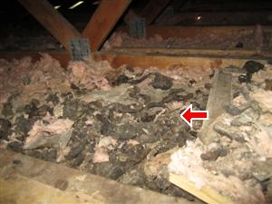 Animal Feces found in Attic by Barrie Home Inspector